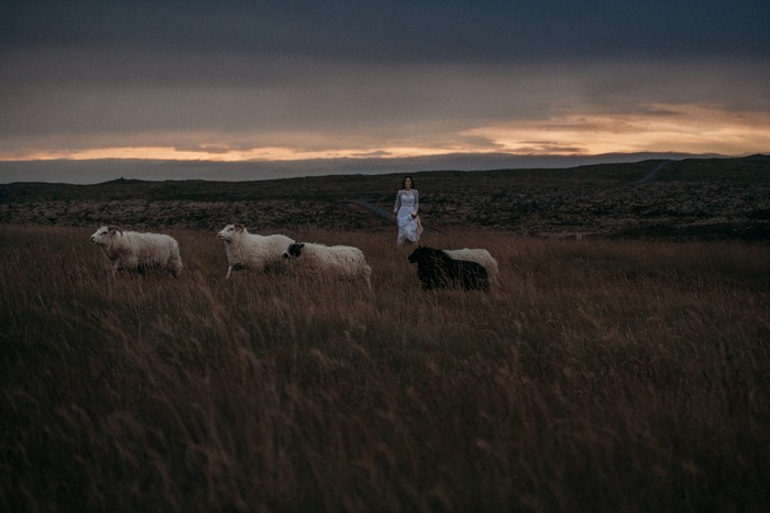 Sheep-wedding-Iceland