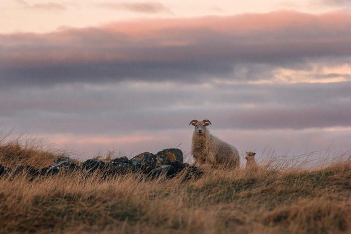 Sheep-Iceland
