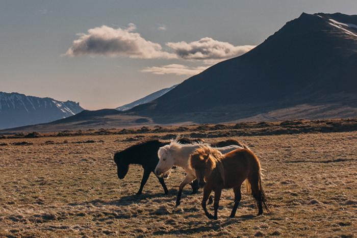 Icelandic-horses-JNSvision